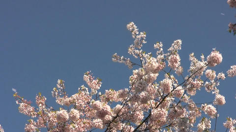 Blossom Snowflakes Fly Off Cherry Tree stock footage