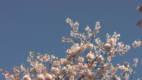 Blossom Snowflakes Fly Off Cherry Tree Stock Video Footage