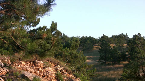 Pine trees and stones Stock Video Footage