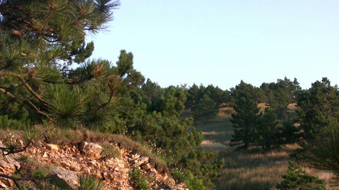 Pine Trees And Stones stock footage