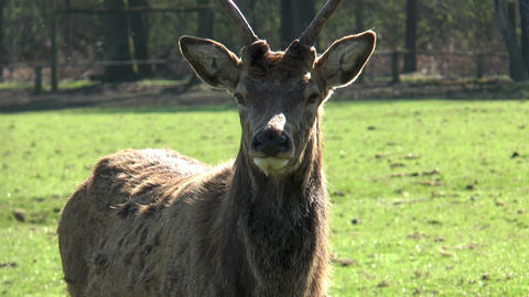 red deer close up Stock Video Footage