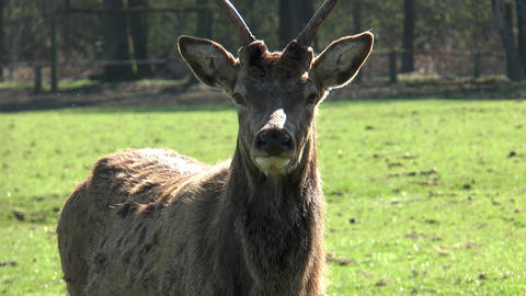 red deer close up Footage