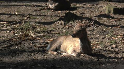 sika deer scratching his fur Stock Video Footage