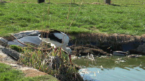 stork searching for food in a pond Stock Video Footage