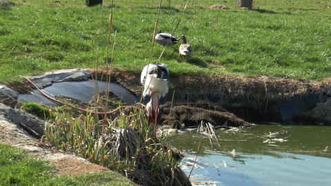 stork searching for food in a pond Footage