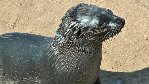 young sea lion at cape cross Stock Video Footage