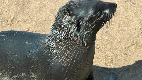 young sea lion at cape cross Footage