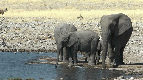 elephants arriving at waterhole Stock Video Footage