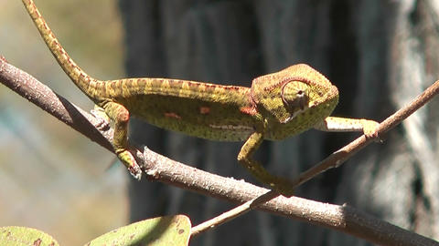 chameleon balancing on a swaying branch wind Stock Video Footage