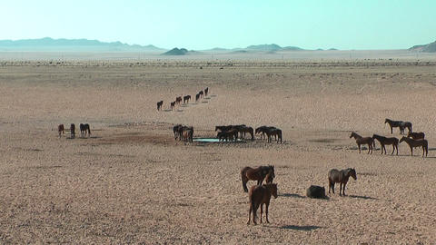 Namib desert horses in Namibia,Africa Footage