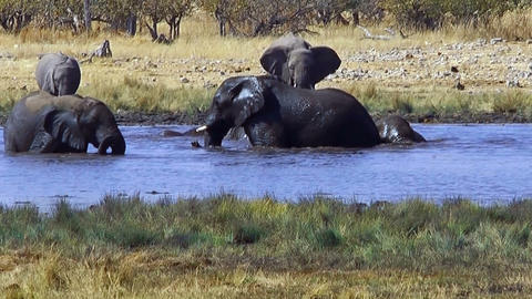 elephants bathing in waterhole,ethosha namibia Footage