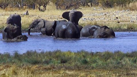 elephants bathing in waterhole,ethosha namibia Stock Video Footage