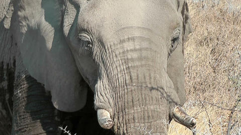 elephant eating closeup Stock Video Footage