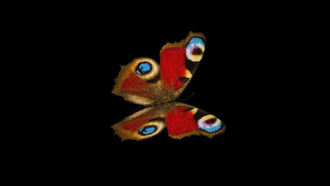 Peacock Butterfly - Side Close-Up Loop + Alpha Stock Video Footage