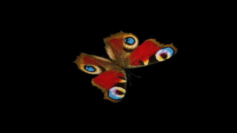 Peacock Butterfly - Front Angle Close-Up Loop + Alpha Stock Video Footage