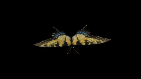 Swallowtail Butterfly I - Front Close-Up Loop + Alpha Stock Video Footage