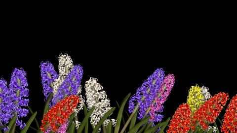 Lower 3rd Flowers - Hyacinth Animation