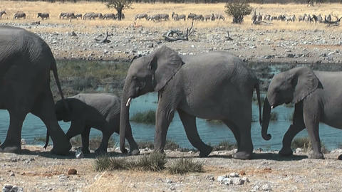 elephants walking in single file at waterhole Stock Video Footage