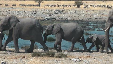 elephants walking in single file at waterhole Stock Video Footage
