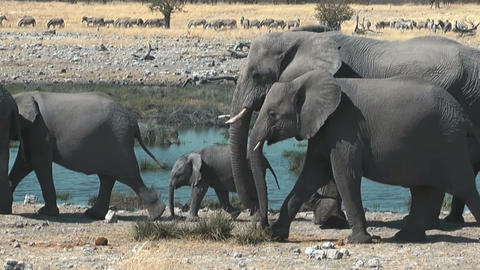 elephants walking in single file at waterhole Footage