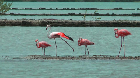 american flamingos at salt flat in curacao Footage