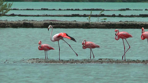 american flamingos at salt flat in curacao Stock Video Footage