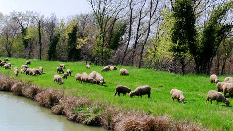 Flock sheeps grazing on the banks of the river Stock Video Footage