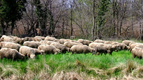 Flock Sheeps Grazing On The Banks Of The River stock footage