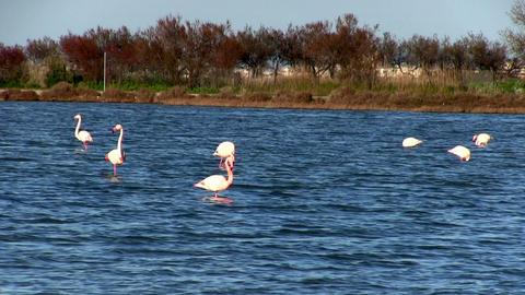 Flock of pink flamingos Stock Video Footage