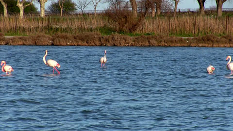 Flock of pink flamingos Footage