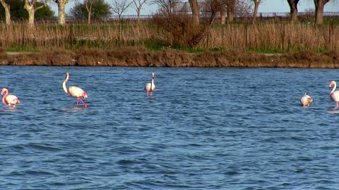 Flock of pink flamingos Footage