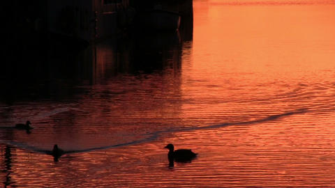 Ducks floats on the surface of the water Footage