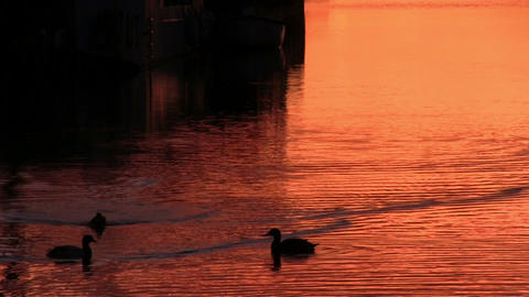 Ducks floats on the surface of the water Stock Video Footage