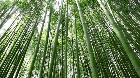 Bamboo forest Footage