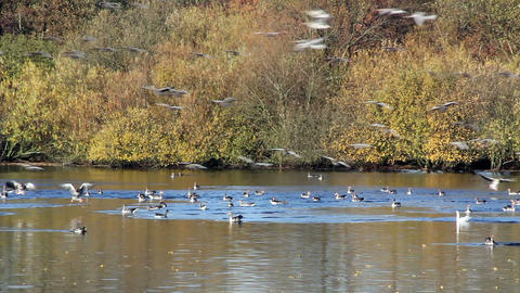 swarm of wild geese landing in pond Stock Video Footage