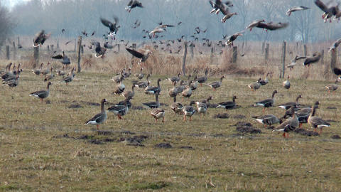 swarm of wild geese landing slow motion Stock Video Footage