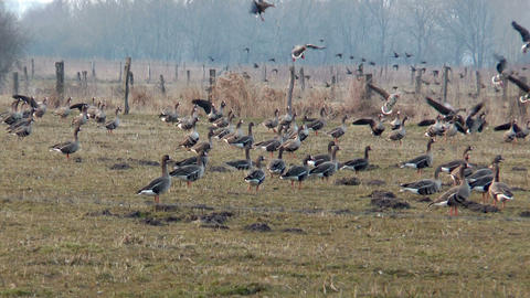 swarm of wild geese landing slow motion Footage