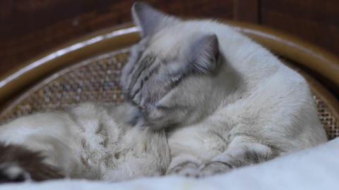 猫 Stock Video Footage