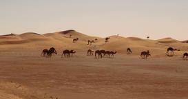 Dromedaries, Camels In Sahara Desert, Morocco Footage