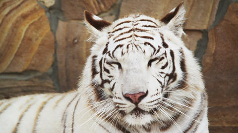 white tiger panting from the heat Live Action