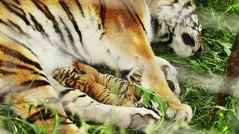 tiger cubs feeding Footage