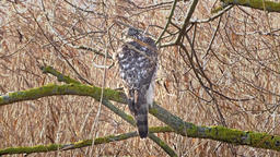 Wild Northern goshawk on a branch. Accipiter gentilis. Bird of prey Live Action