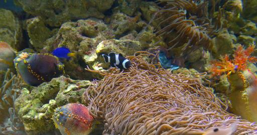 Small Colorful Deep Sea Coral Fish In Aquarium Live Action
