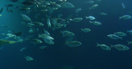 Deep Ocean Fish In Large Aquarium Footage