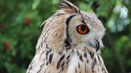 The Indian eagle-owl. Bubo bengalensis Footage