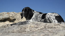 Spotted dog lying on the rocks Footage