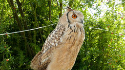 The Indian eagle-owl. Bubo bengalensis Live Action