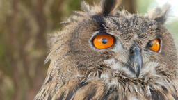 The Eurasian eagle-owl (Bubo bubo) Footage