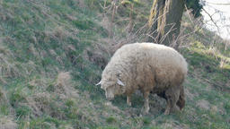 Sheep grazing on a pasture Live Action