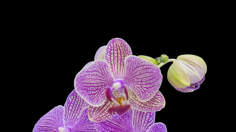 Time-lapse of opening Phalaenopsis KV Charmer orchid, 4K with ALPHA channel Footage
